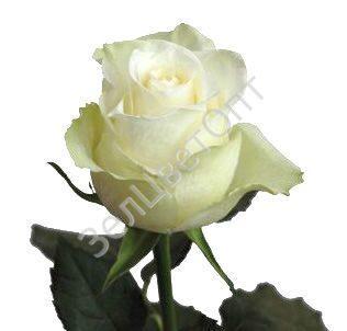 Купить цветы город солнечногорск стеклянные подставки под цветы где купить